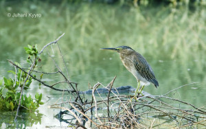 Butorides striata (Striated Heron)