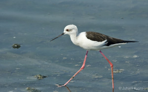 Himantopus himantopus (Black winged stilt)