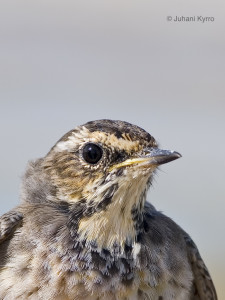 Luscinia svecica (Bluethroat)